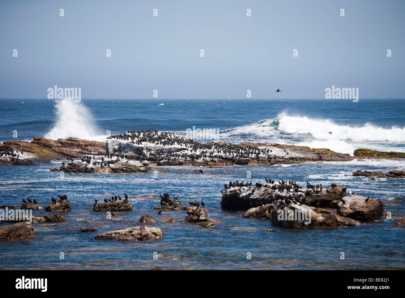 Cormorants on rocks at Cape of Good Hope, Cape Peninsula, Western Cape, South Africa - Stock Image