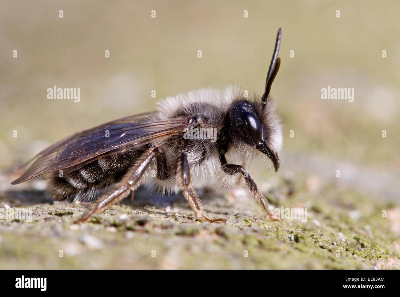 Zanbij op een boom; Minig bee on a tree. - Stock Image