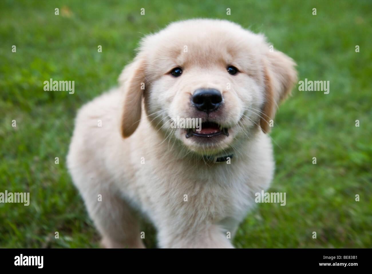 Eight week old Golden Retriever puppy. - Stock Image