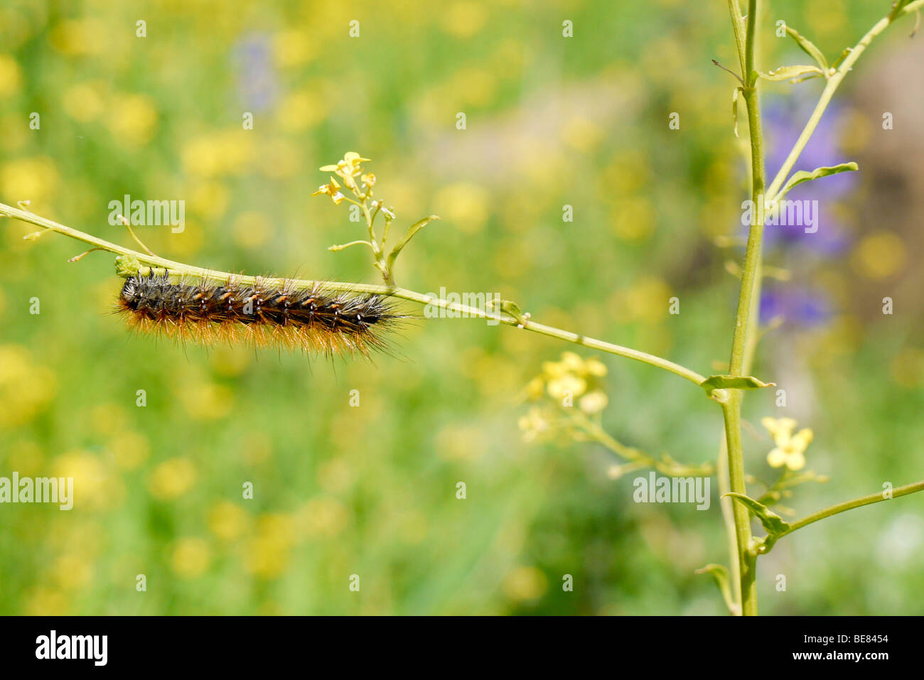close up of a caterpillar crawling on a twig - Stock Image