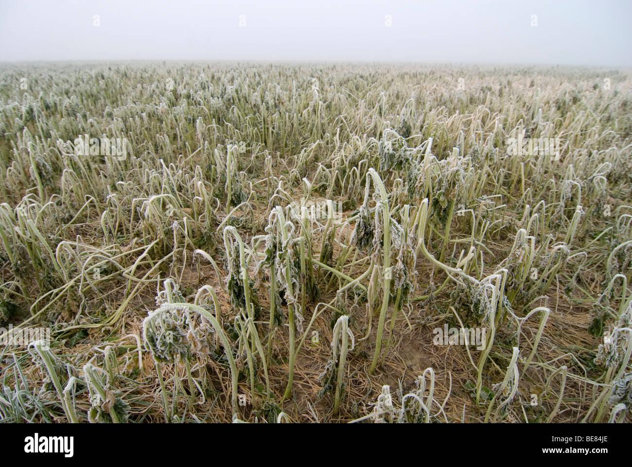 bladrammenas na vorst; oilseed radish in winter; - Stock Image