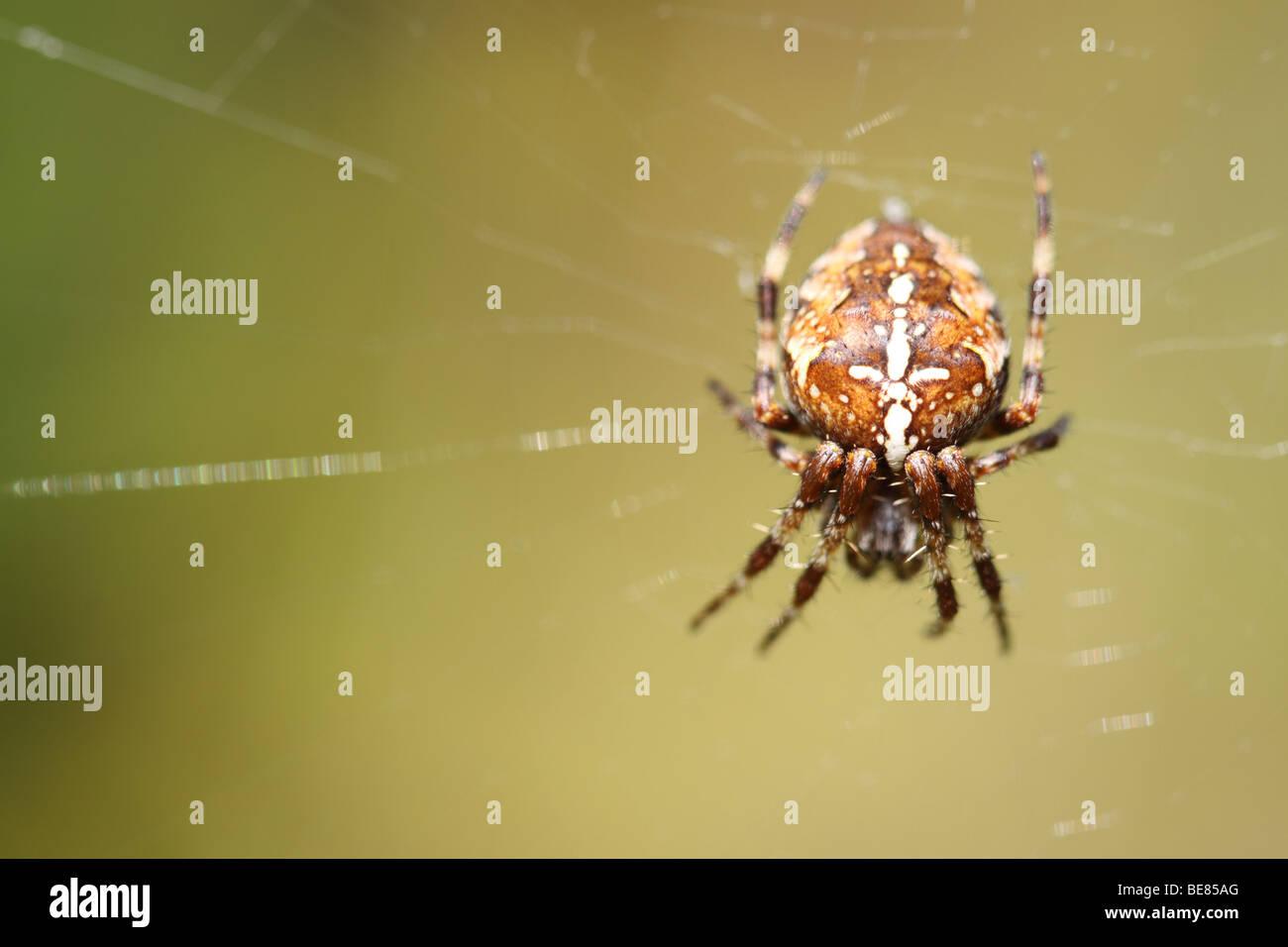 araneus diadematus common garden spider with distinctive white cross on its abdomen in uk september - Common Garden Spider