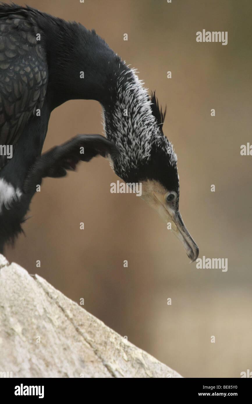 Portret van een krabbende Aalscholver; Portrait of a Great Cormorant - Stock Image