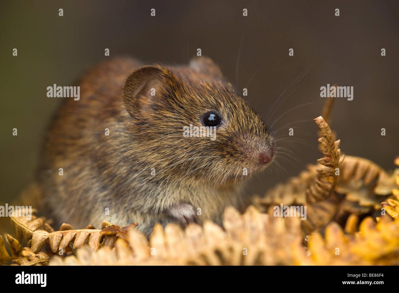bank vole; Clethrionomys glareolus; - Stock Image