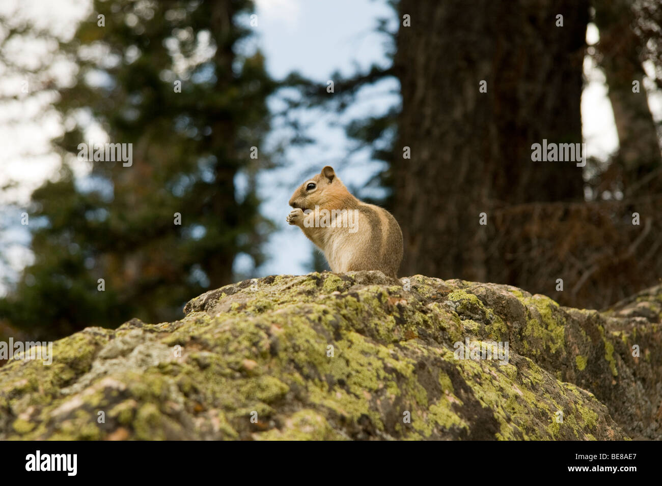 Golden Mantled Ground Squirrel, Citellus lateralis, Rocky Mountain National Park, Colorado - Stock Image