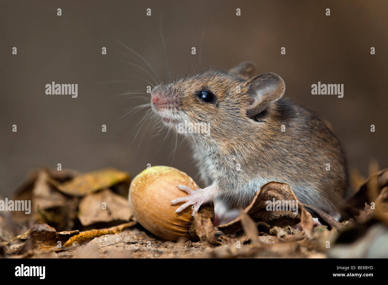 wood mouse; Apodemus sylvaticus; with hazel nut - Stock Image