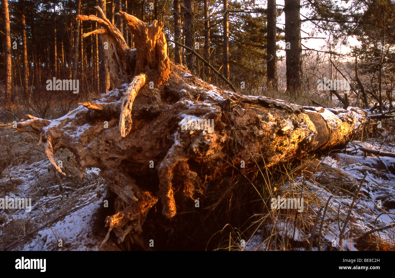 Omgevallen naaldboom in winters naaldbos tijdens zonsopkomst;Fallen pine-tree in pine-forest with snow and warm - Stock Image