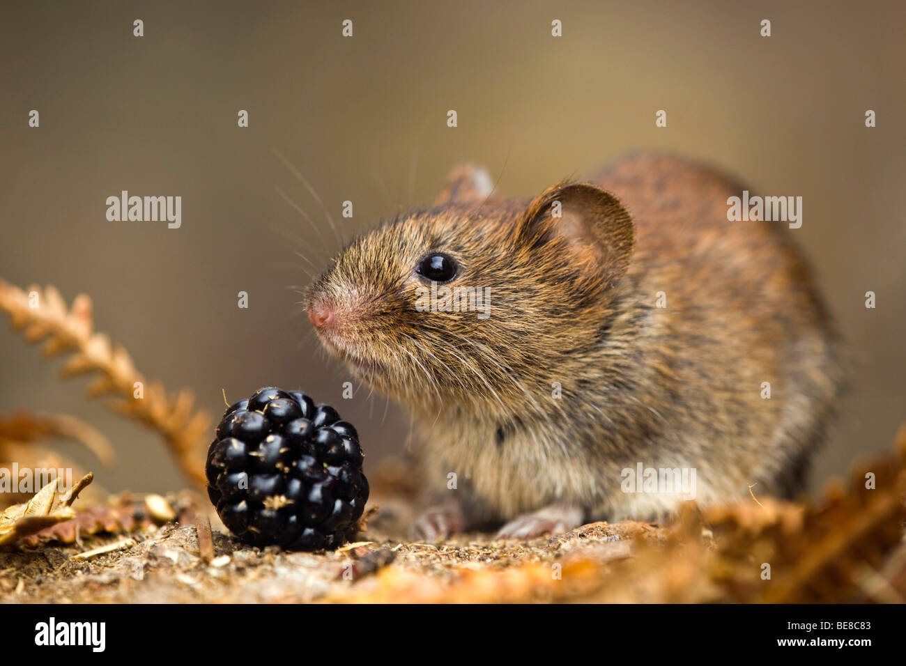 bank vole; Clethrionomys glareolus; with blackberry - Stock Image