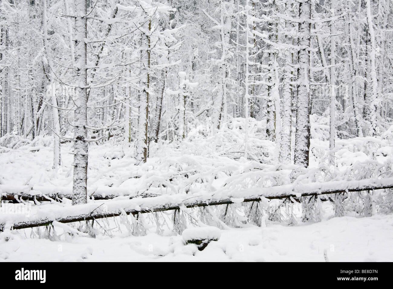 Naaldbos in de sneeuw; coniferous forest with snow - Stock Image