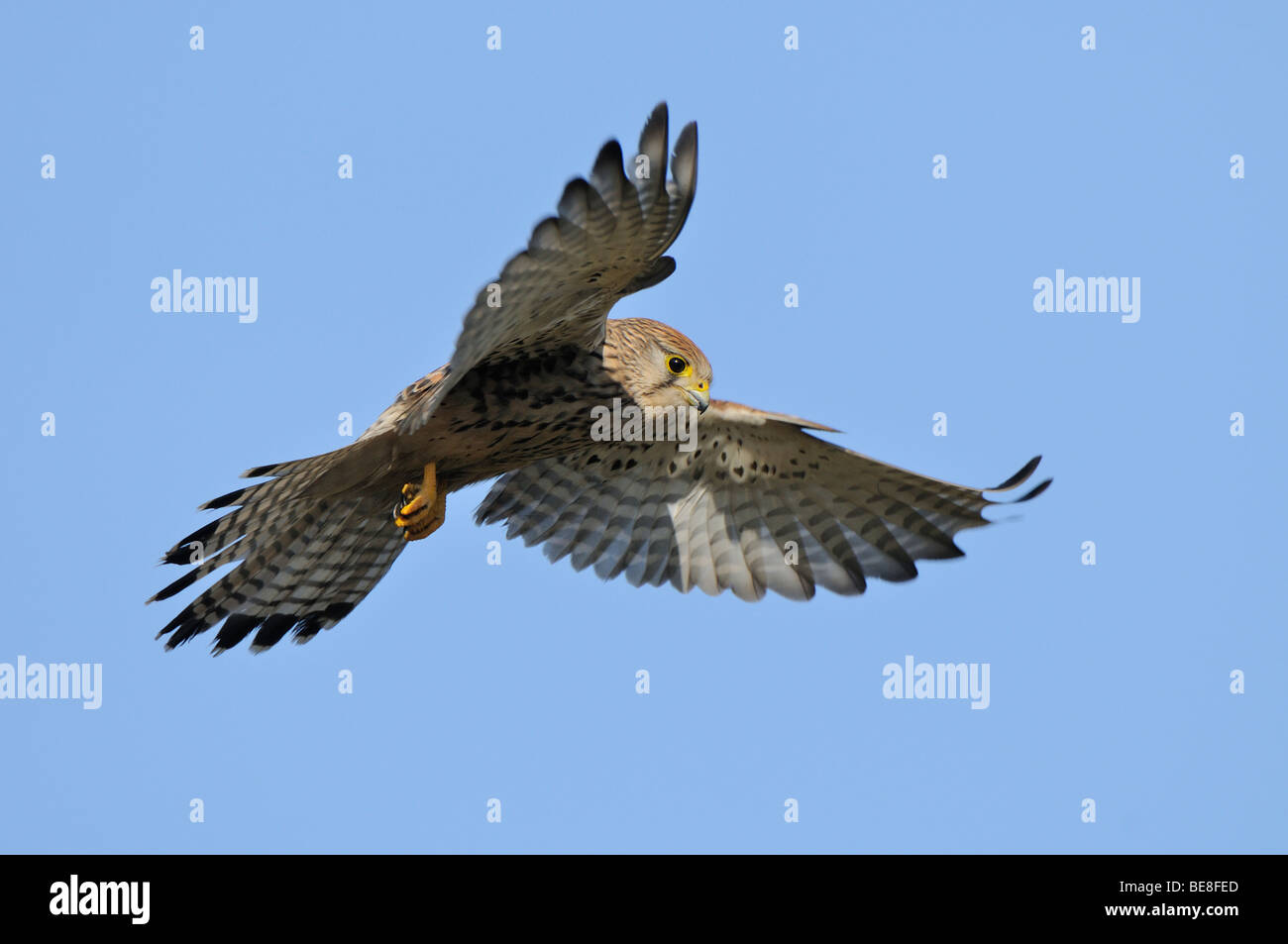 Biddende vrouw Torenvalk met een blauwe lucht; Hoovering female Kestrel against a blue sky Stock Photo