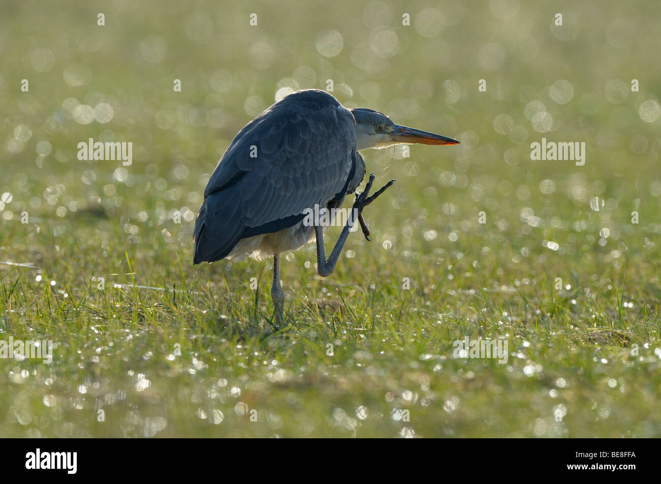 First winter Grey Heron foraging in a meadow, taken against the light - Stock Image