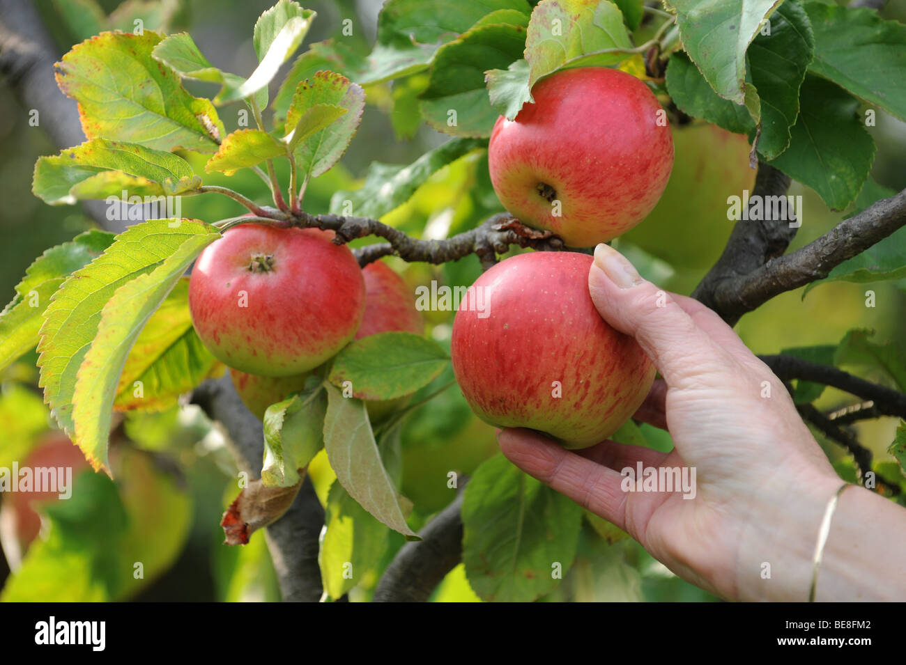 Hand picking ripe red apples - Stock Image