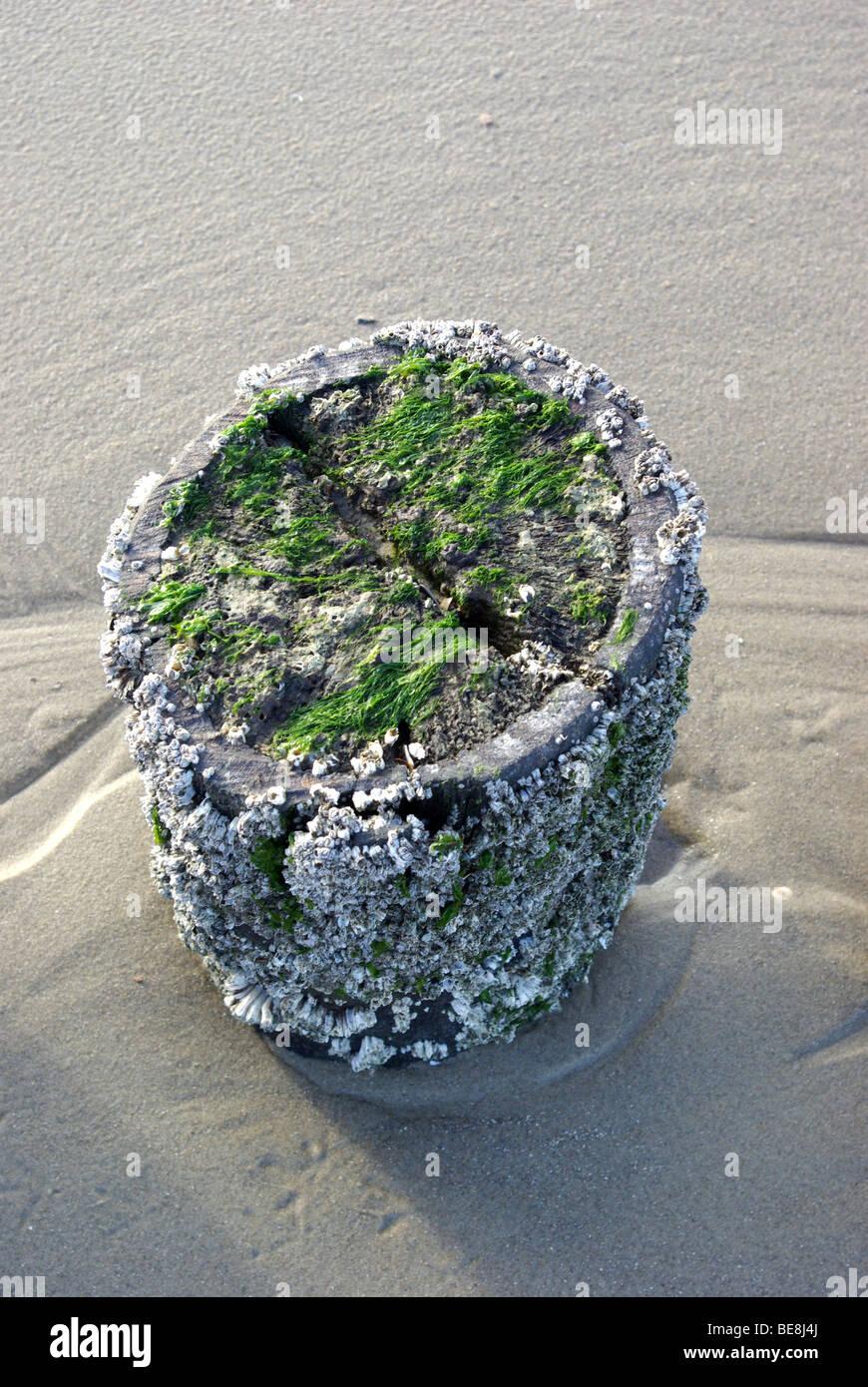 Strandpaal vol zeepokken en zeesla bij eb op het strand; Range pile full Sessilia and Green alga Stock Photo