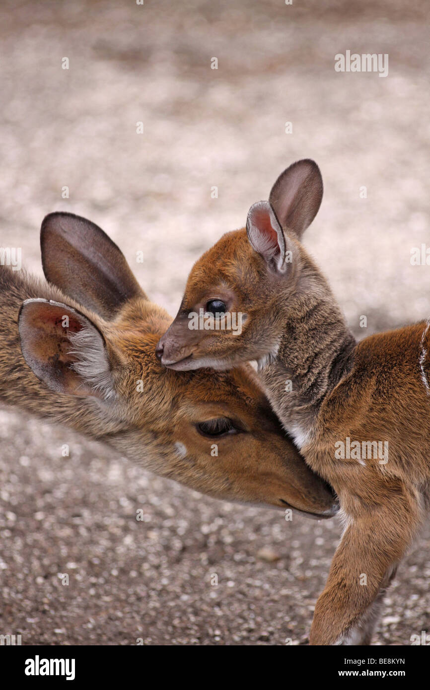 Female Bushbuck Tragelaphus sylvaticus With Fawn Taken in Kei Mouth, South Africa - Stock Image