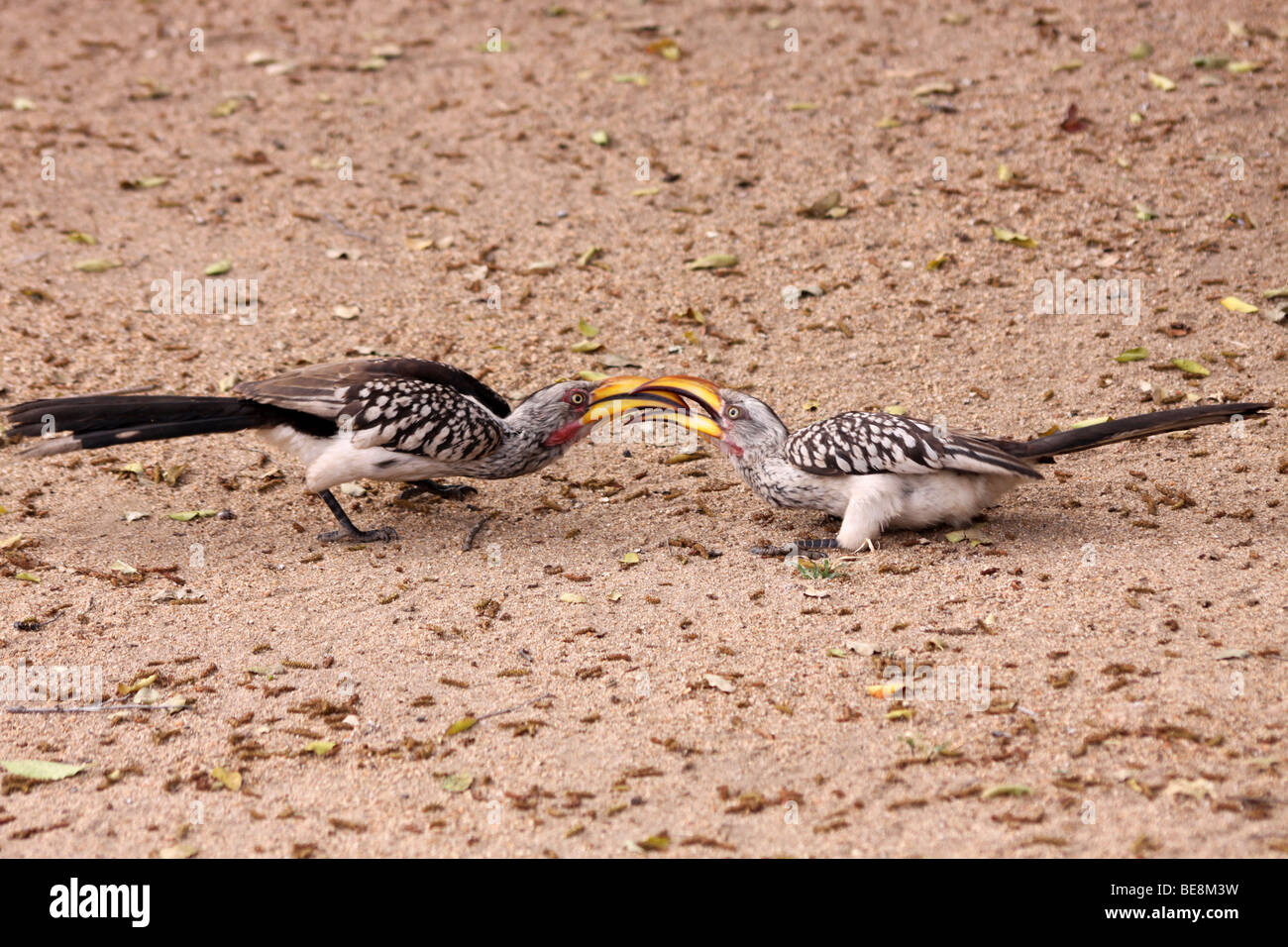 Two Southern Yellow-billed Hornbills Tockus leucomelas Fighting With Locked Beaks In Kruger National Park, South - Stock Image
