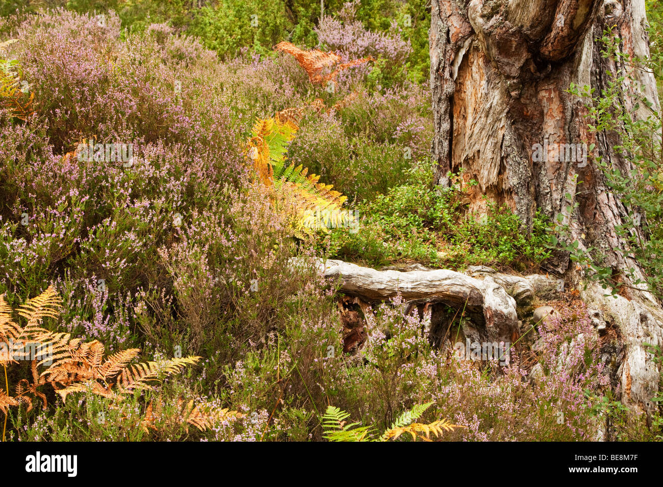 Close up heather and bracken at base of tree on forest floor in caledonian pine forest at Loch an Eilein, Cairngorms - Stock Image