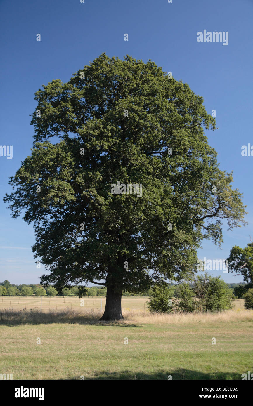 A mature oak tree on Queen Anne's Ride, close to Windsor Castle, Berkshire UK. - Stock Image