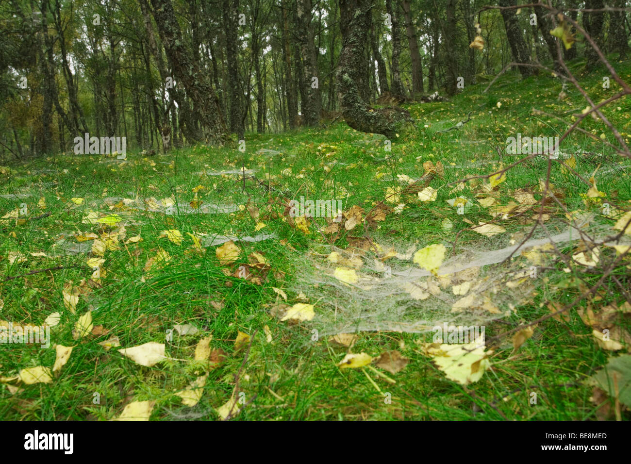 Mist water droplets on spiders webs on the forest floor in a silver birch wood, Boat of Garten, Cairngorms National - Stock Image