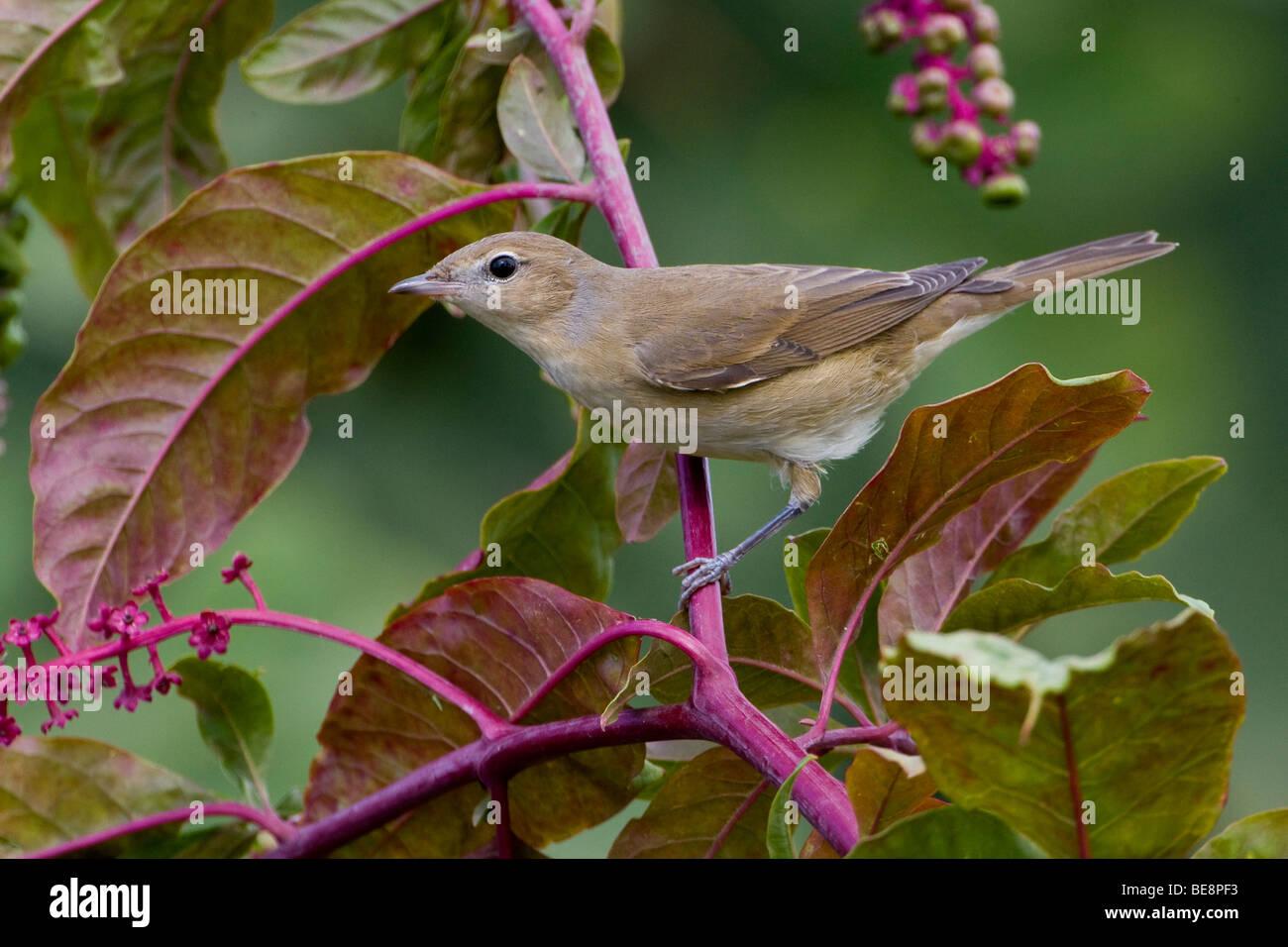 Tuinfluiter zittend op tak volgeladen met besjes. Gardenwarbler sitting on a twig loaded with berries. Stock Photo