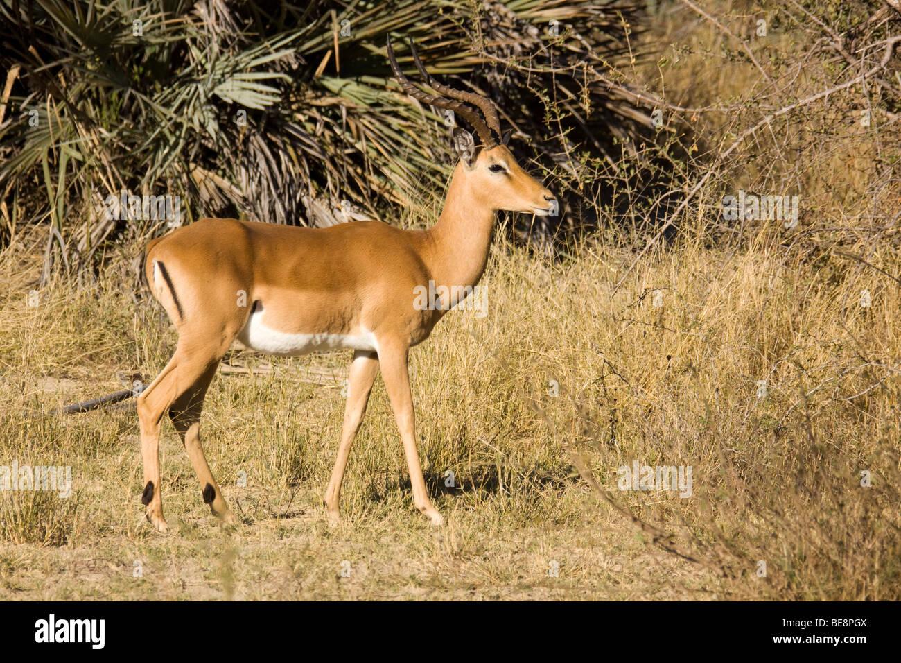 Impala (Aepyceros melampus), Mahango Park, Namibia, Africa - Stock Image