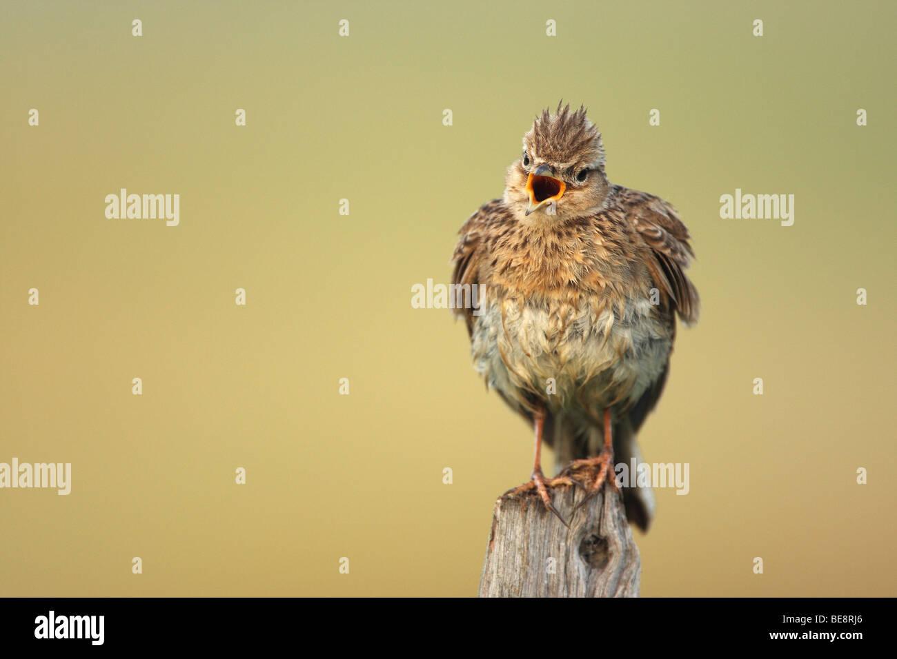 Zingende Veldleeuwerik (Alauda arvensis), Belgi Singing Skylark (Alauda arvensis), Belgium - Stock Image