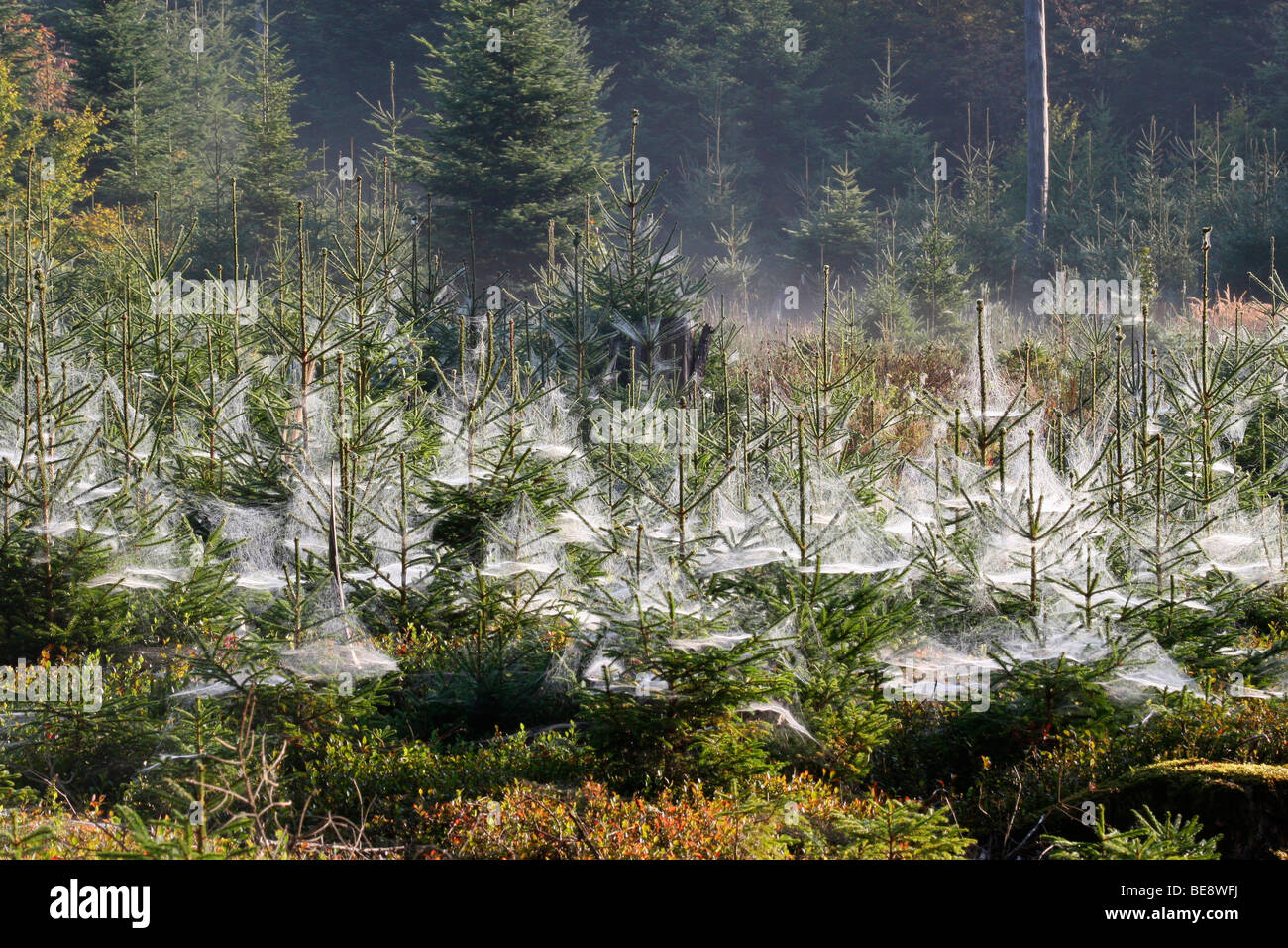 Spider webs on young spruces, Indian summer, Allgaeu, Bavaria, Germany, Europe - Stock Image