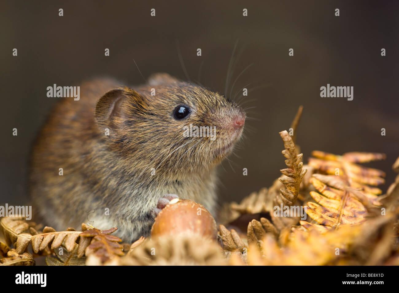 bank vole; Clethrionomys glareolus; with hazel nut - Stock Image