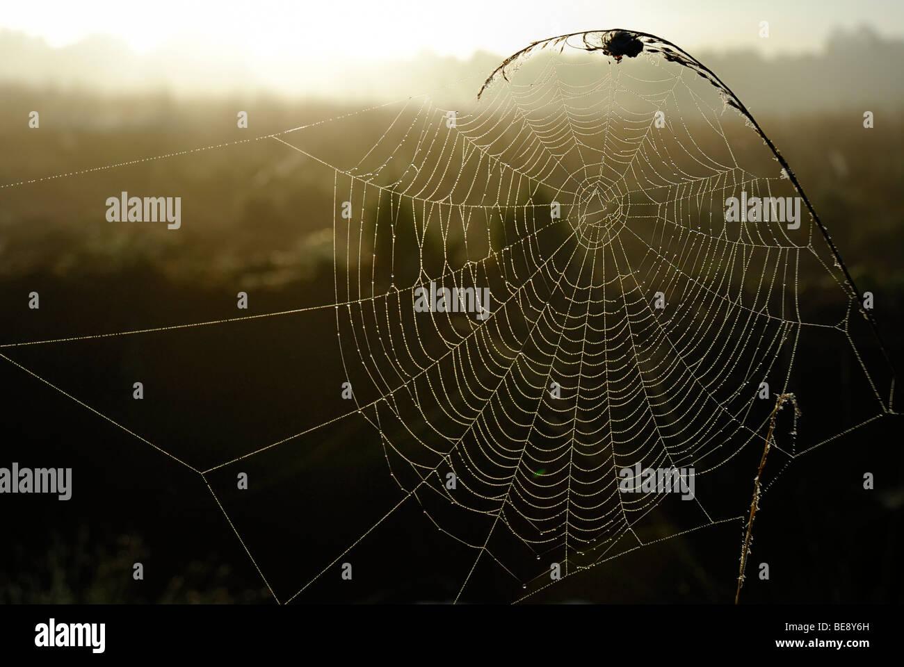 Web of an orb-web spider in backlight, Breitenburger Moor marsh, Schleswig-Holstein, Germany, Europe - Stock Image
