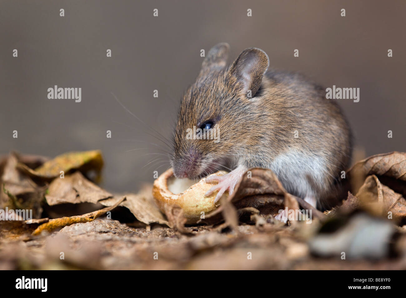 wood mouse; Apodemus sylvaticus; eating a nut - Stock Image