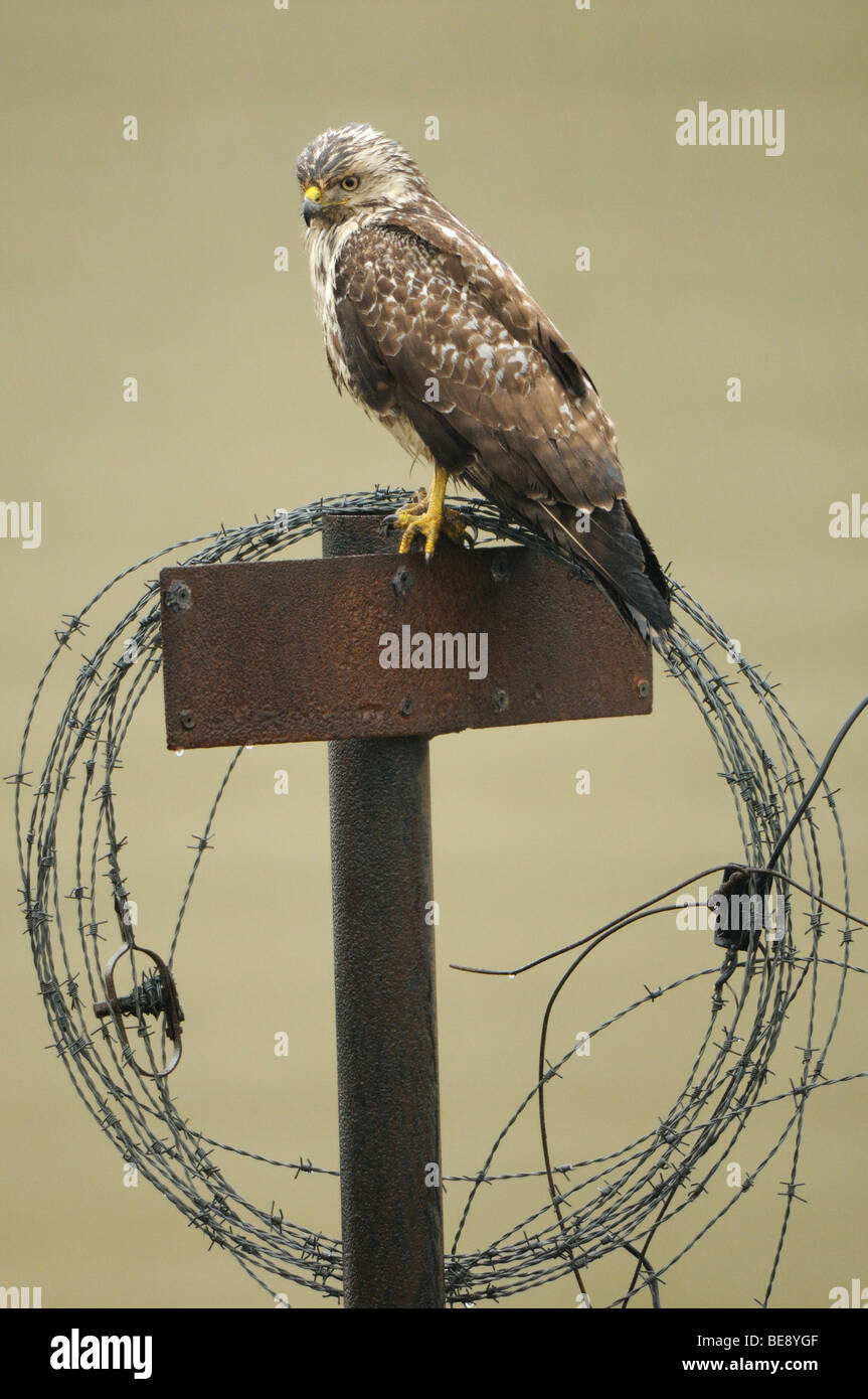 Common Buzzard hunting from an iron pole with a roll of barbed wire Stock Photo