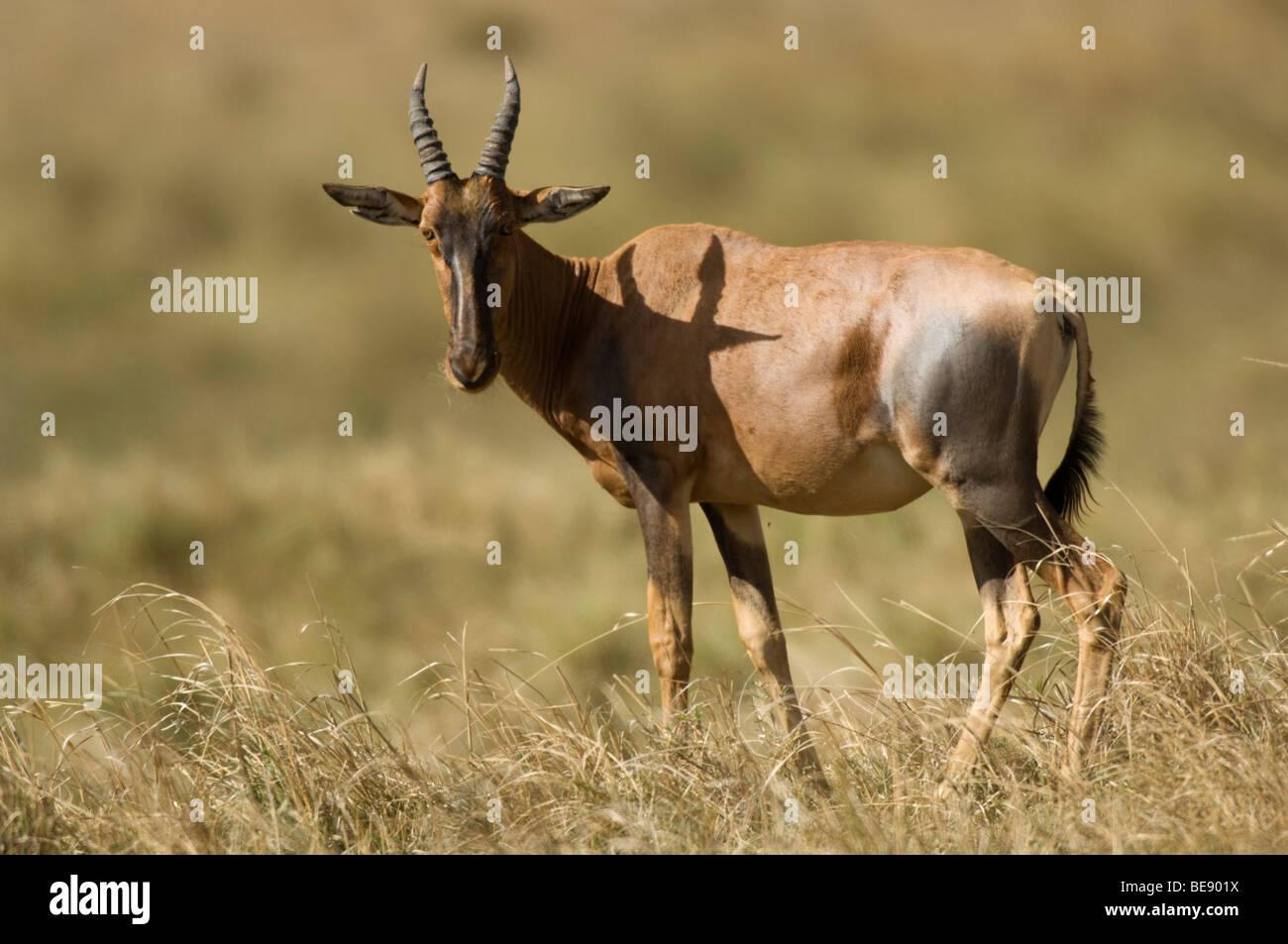 Topi (Damaliscus lunatus jimela), Maasai Mara National Reserve, Kenya - Stock Image