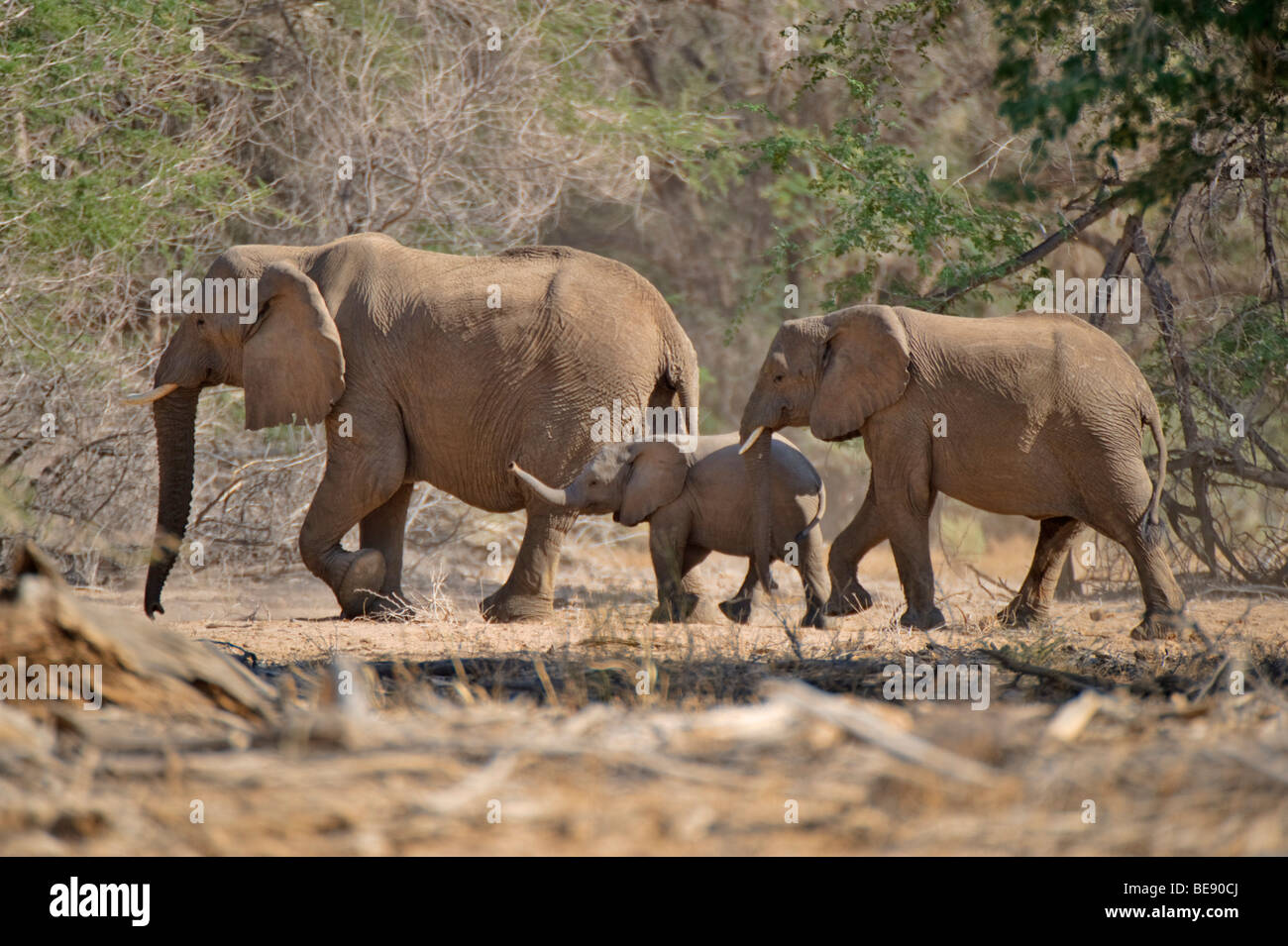 African Bush Elephants (Loxodonta africana) with young animals, in the Ugab river valley, near Mt Brandberg, Namibia, Stock Photo