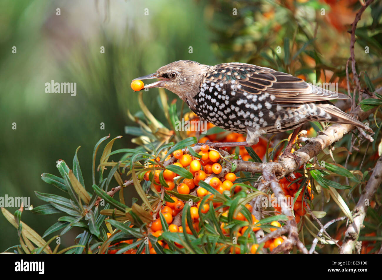 Starling (Sturnus vulgaris) eating a Sea-buckthorn berry (Hippophae rhamnoides) Stock Photo