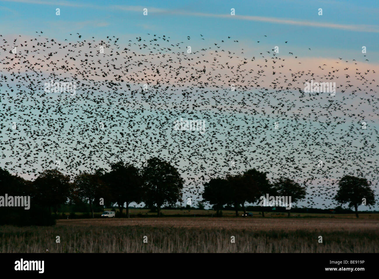 Large flock of starlings (Sturnus vulgaris) at their roost - Stock Image