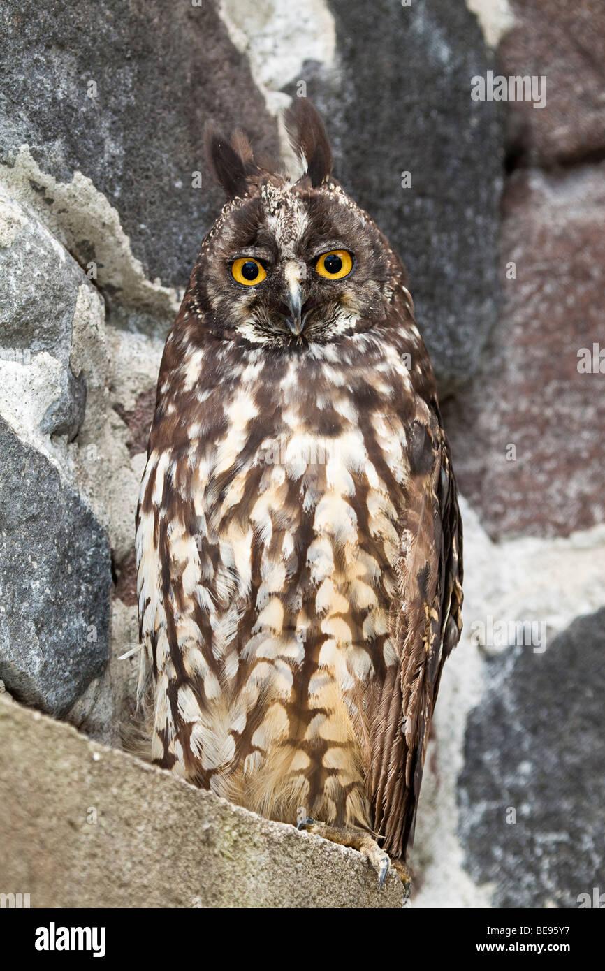 STYGIAN OWL, Asio stygius, OTAVALO, ECUADOR. - Stock Image