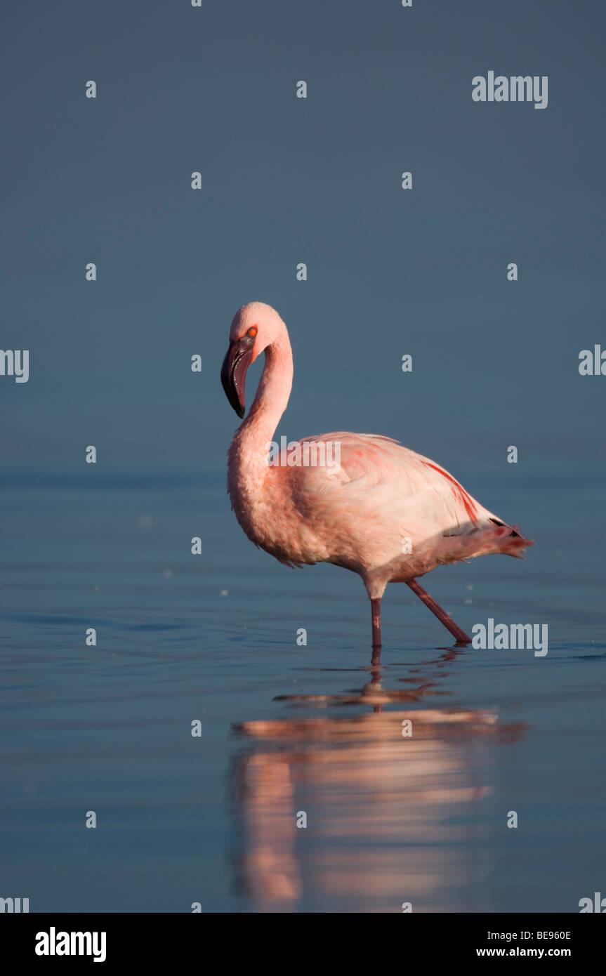Lesser flamingo (Phoeniconaias minor), Lake Nakuru National Park, Kenya Stock Photo