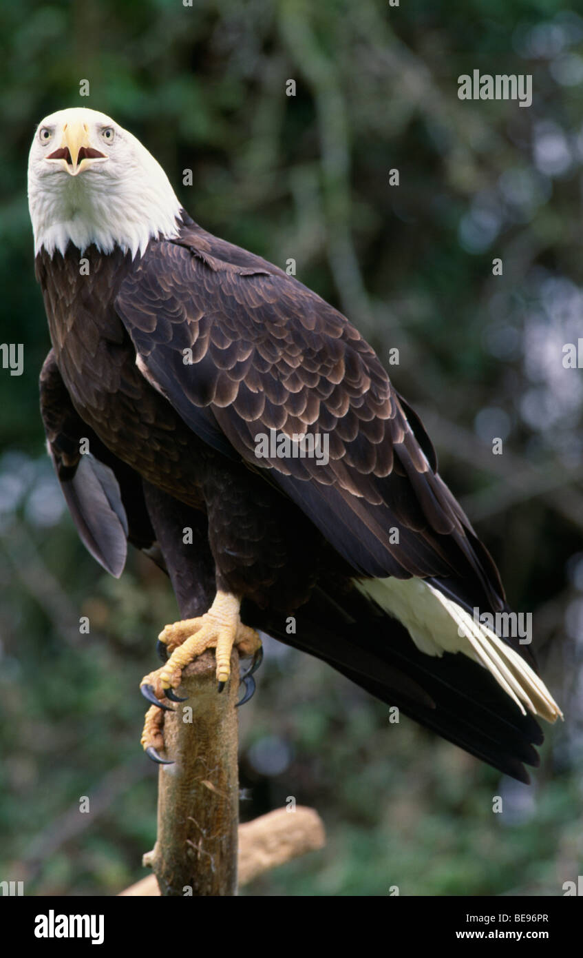 Usa North American Birds Birds Of Prey Bald Headed Eagle Haliaeetus Stock Photo Alamy
