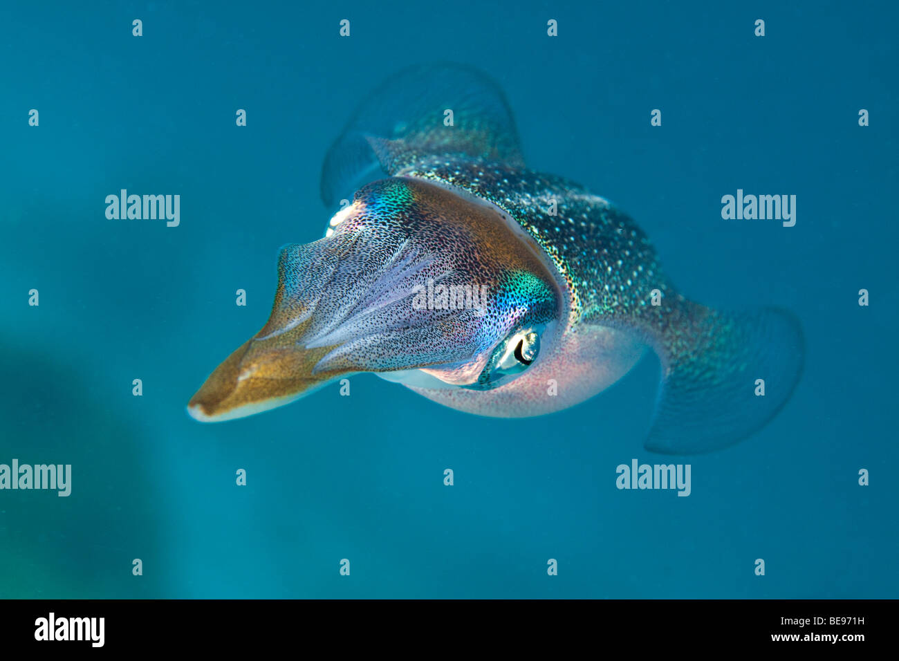 The Caribbean reef squid, Sepioteuthis sepioidea, is commonly observed in shallow near shore water of the Caribbean. - Stock Image