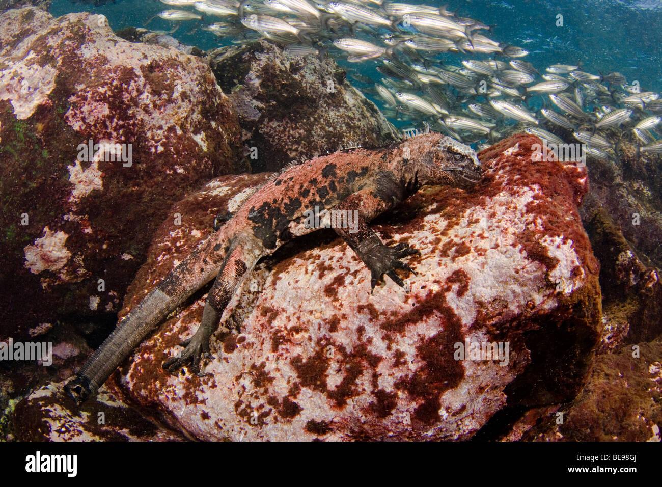Marine iguana, Amblyrhynchus cristatus, (endemic) feeding underwater on algae, Galapagos, Equador. - Stock Image