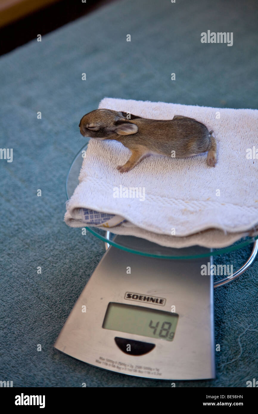 Young cottontail rabbit, 5 days old, being weighed at wild rabbit rehabilitation facility, Flagstaff, Arizona, BEAN - Stock Image