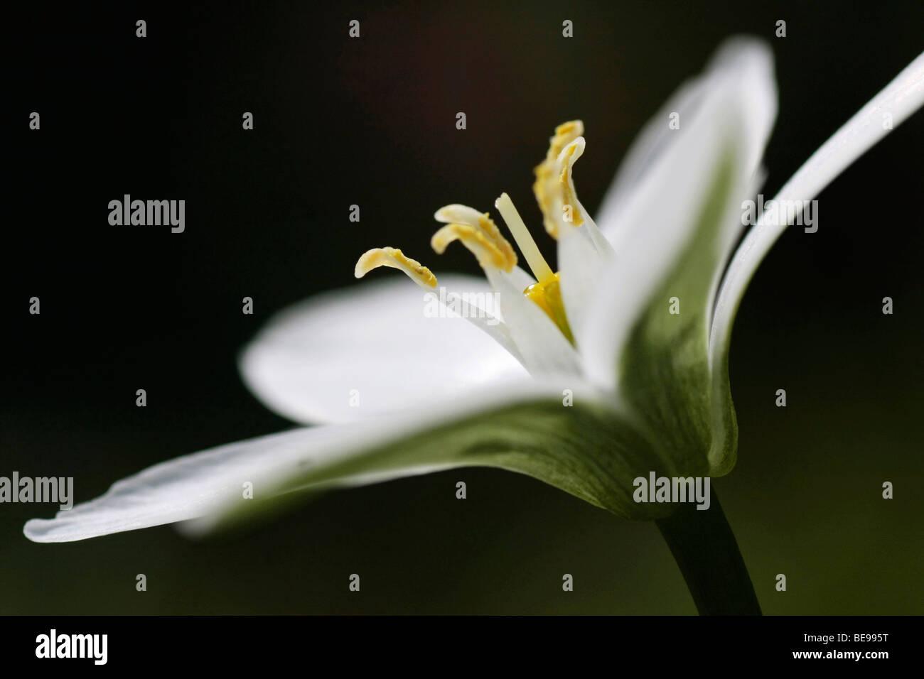 Witte bloem van Vogelmelk met een donkere achtergrond; White flower oof Sleepydick with darck background Stock Photo
