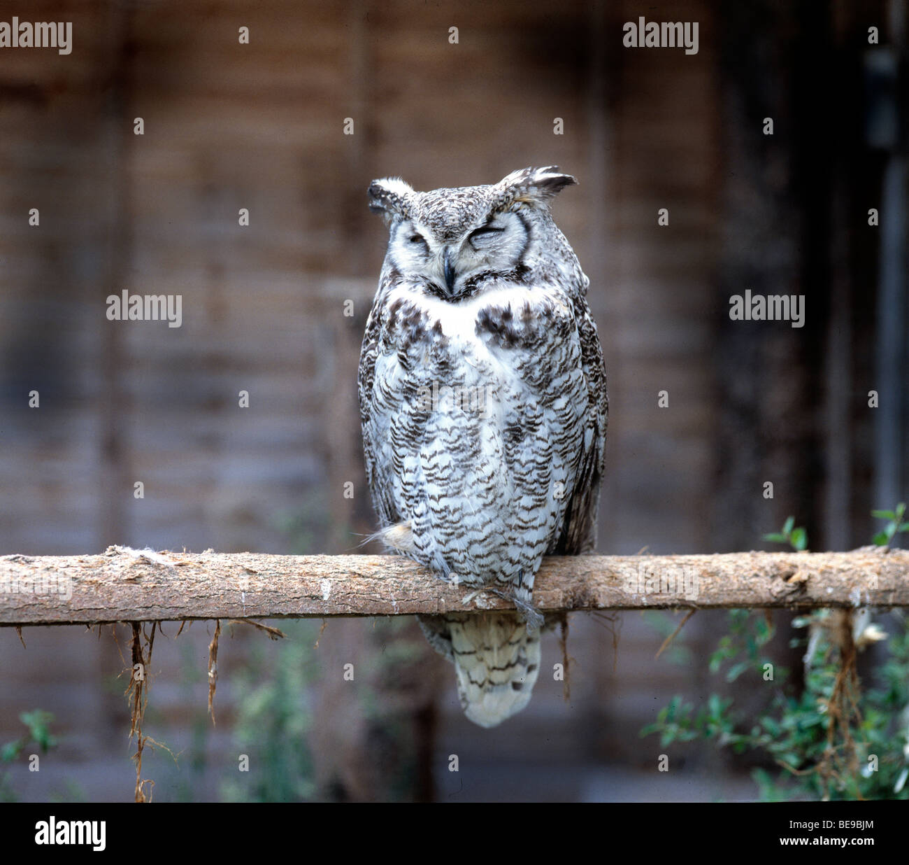 Great Horned Owl sleeping perched on branch outdoors Stock Photo