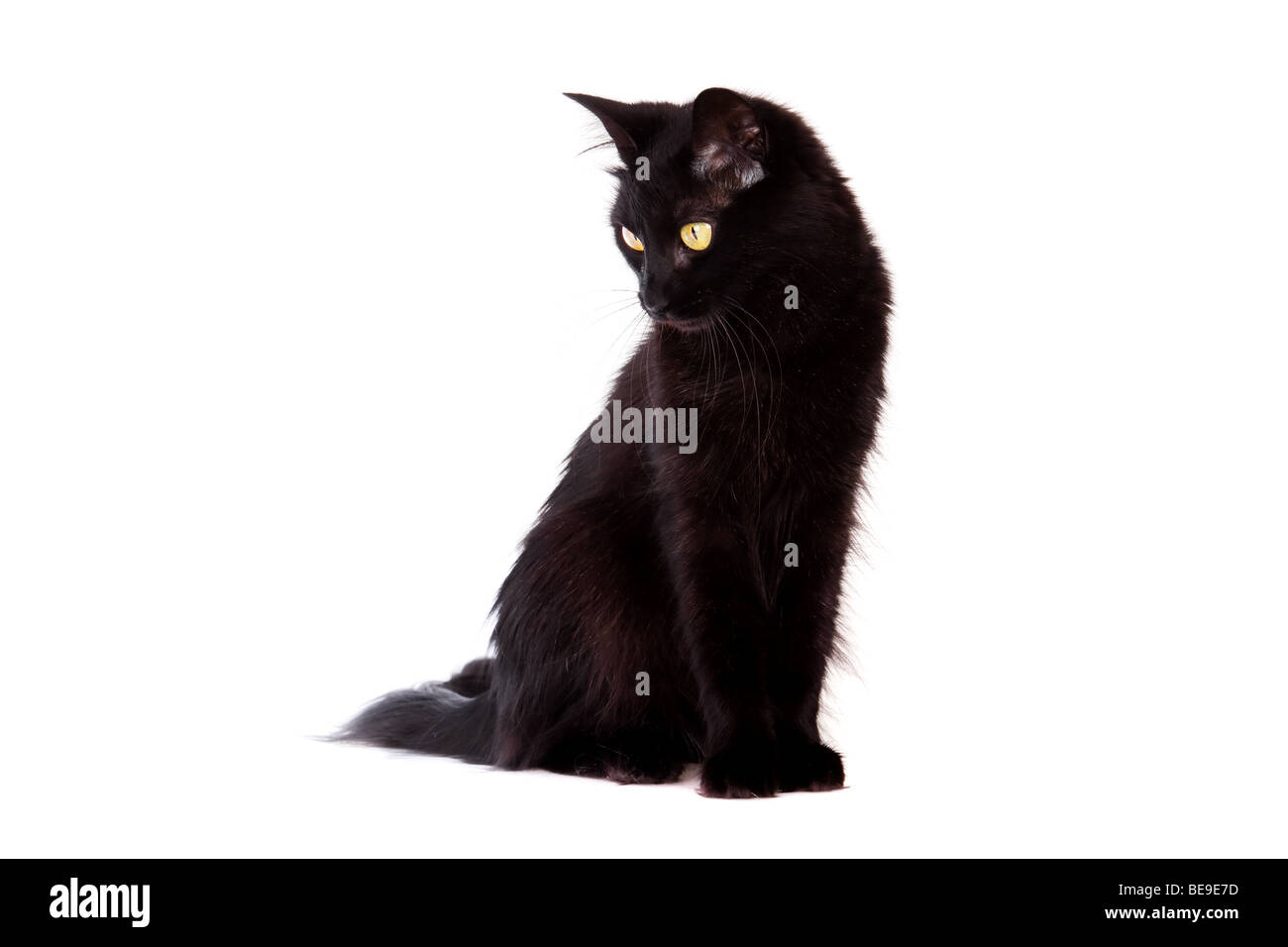 black cat with long hair looking down isolated on white background - Stock Image