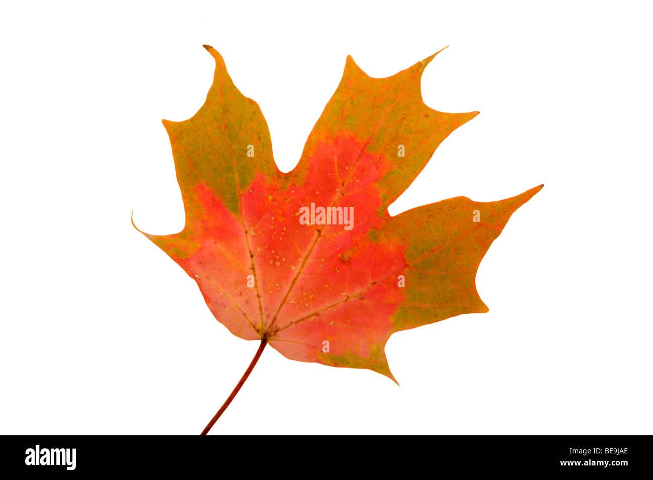 Maple leaf closeup - Stock Image