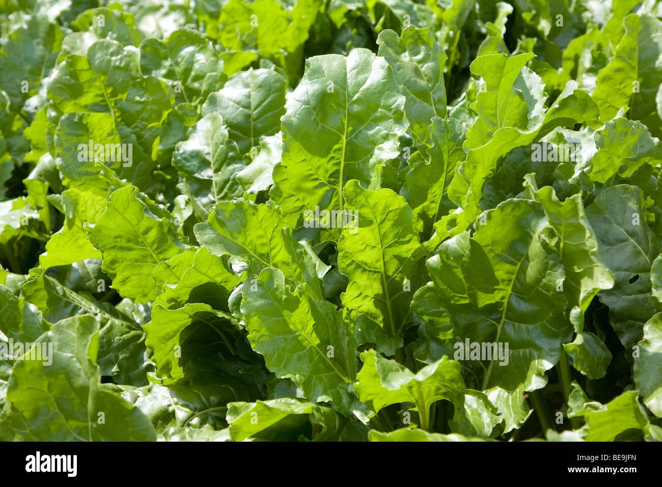 Sugar beet leaves - Stock Image