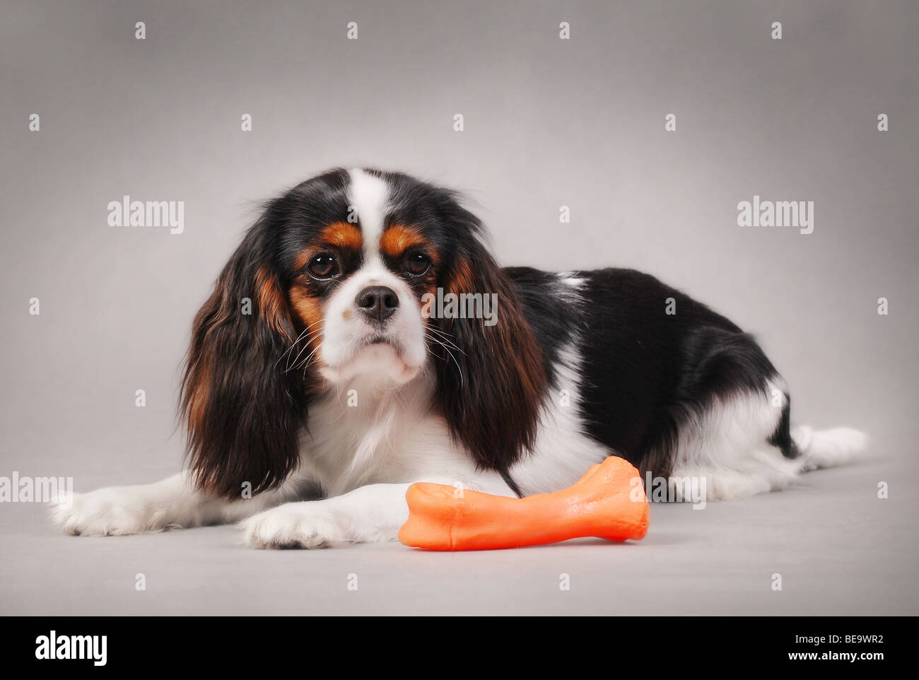 CAVALIER KING CHARLES SPANIEL with toy on the grey background - Stock Image