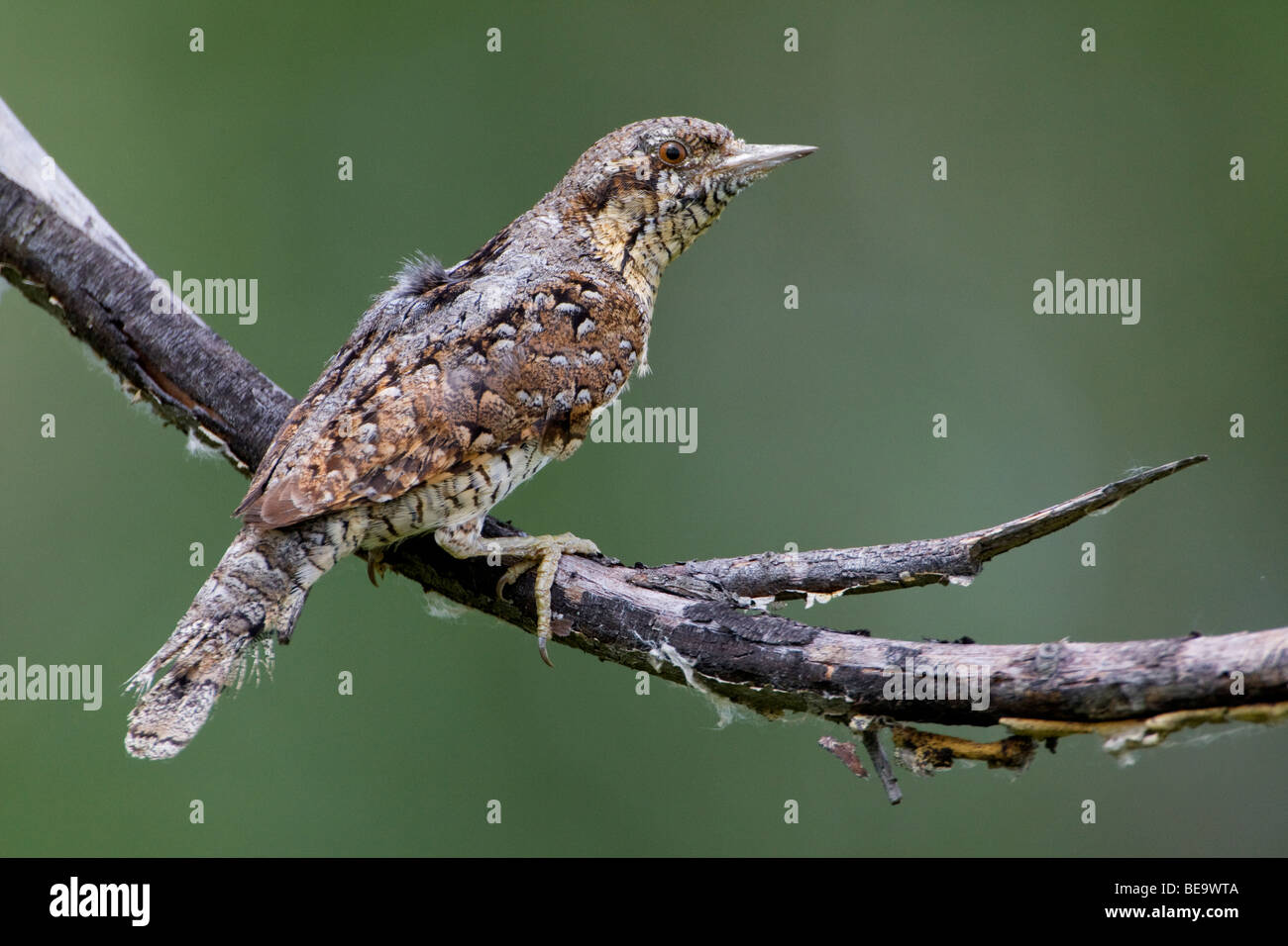 Wryneck on branch - Stock Image