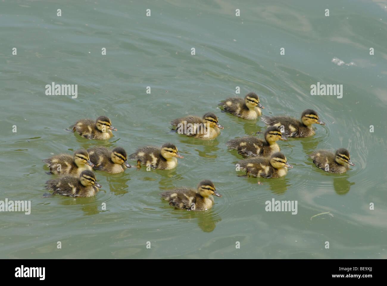 Mallard ducklings in a marsh in Plano, Texas, USA - Stock Image