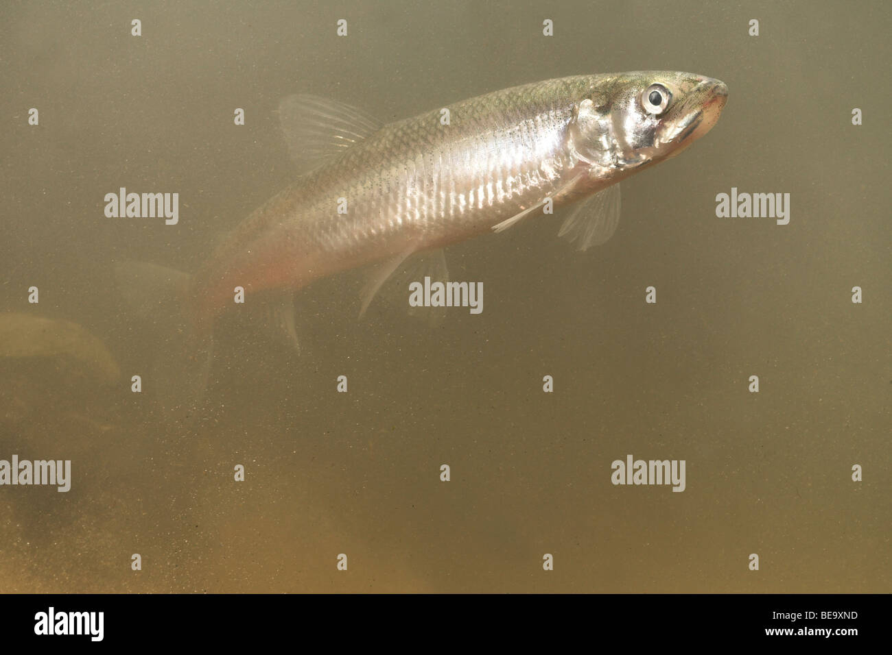 photo of an adult European smelt swimming in muddy water Stock Photo