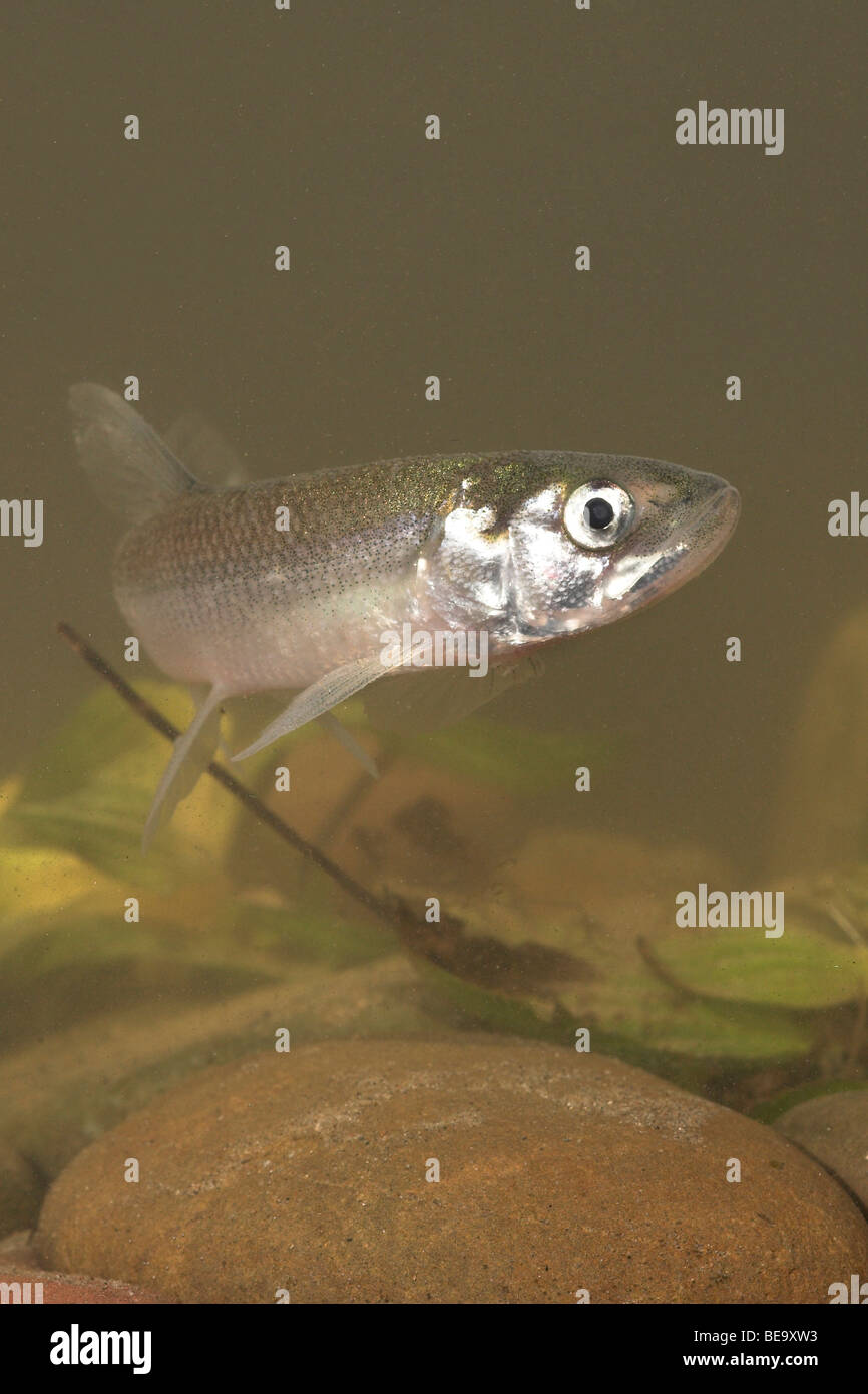 vertical photo of a swimming European Smelt underwater Stock Photo